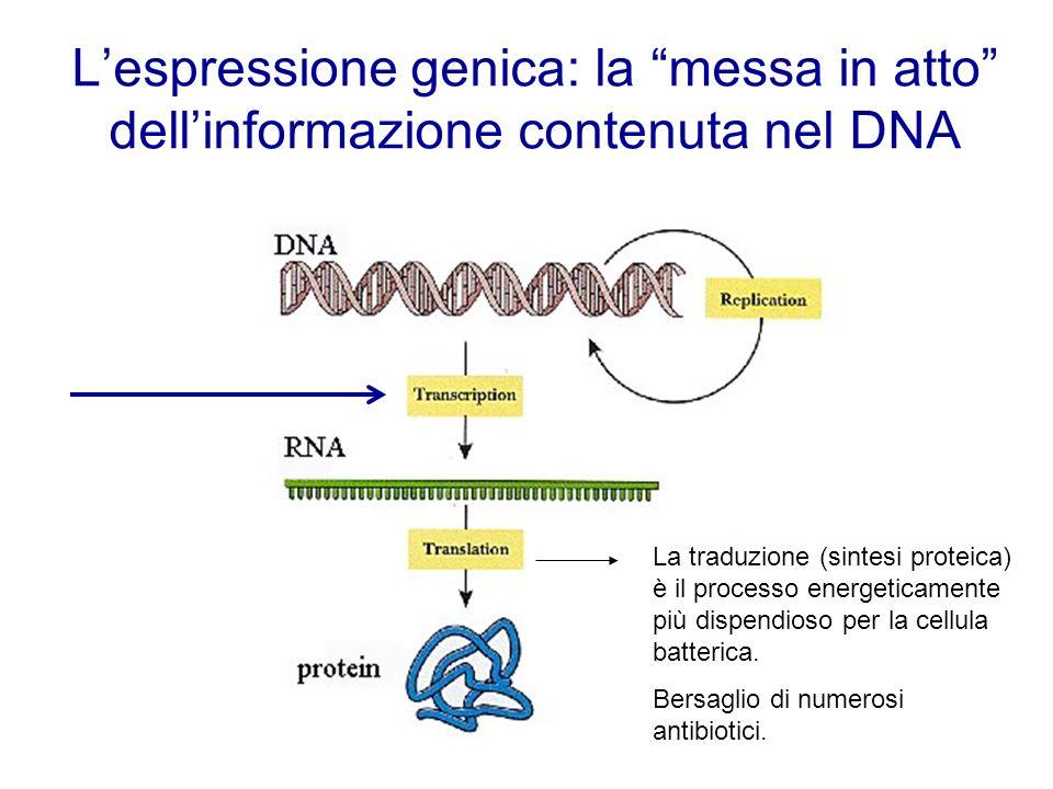Lespressione genica: la messa in atto dellinformazione contenuta nel DNA La traduzione (sintesi proteica) è il processo energeticamente più dispendios
