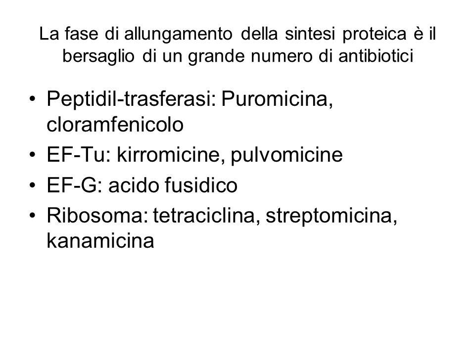 La fase di allungamento della sintesi proteica è il bersaglio di un grande numero di antibiotici Peptidil-trasferasi: Puromicina, cloramfenicolo EF-Tu