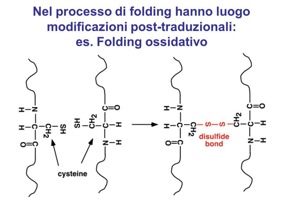 Soltanto il corretto appaiamento di residui di cisteina porta alla conformazione biologicamente attiva