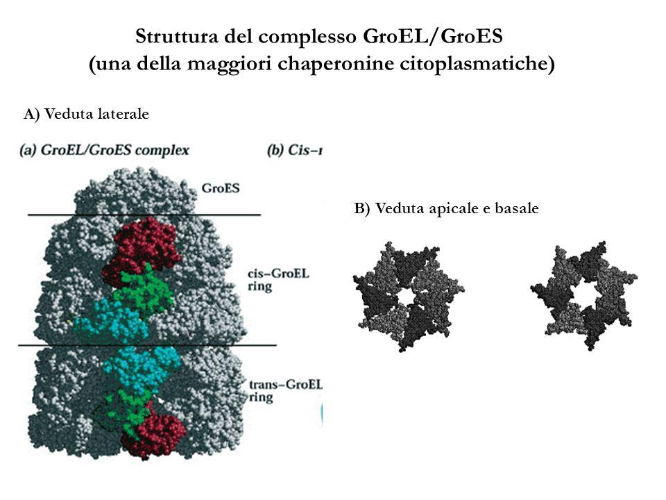 Struttura del complesso GroEL/GroES (una della maggiori chaperonine citoplasmatiche) A) Veduta laterale B) Veduta apicale e basale