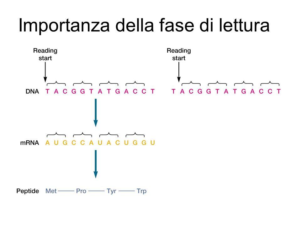 Geni che codificano per proteine (polipeptidi) Lelica stampo (template strand) è usata per la sintesi dellRNA messaggero –È letta 3-5 e consente la sintesi di un mRNAs 5-3 con sequenza nucleotidica complementare allelica stampo ed identica alla sequenza dellelica senso –Il gene termina con un codone di stop Il trascritto continua fino ad una sequenza di terminazione Il trascritto possiede una sequenza leader trascritta ma non tradotta
