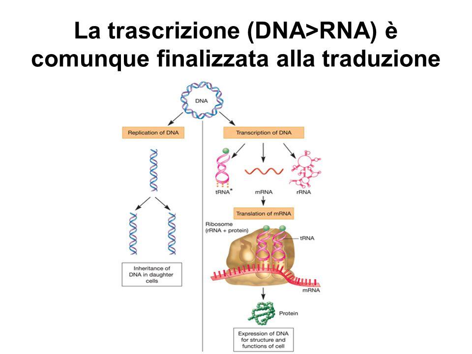 I tre tipi di RNA trascritti mRNA (RNA messaggero): contiene la sequenza nucleotidica del gene per la sua conversione a proteina.