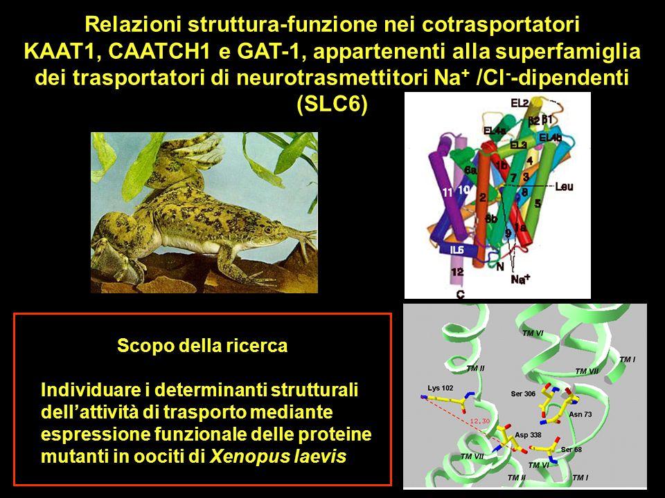 Scopo della ricerca Individuare i determinanti strutturali dellattività di trasporto mediante espressione funzionale delle proteine mutanti in oociti di Xenopus laevis Relazioni struttura-funzione nei cotrasportatori KAAT1, CAATCH1 e GAT-1, appartenenti alla superfamiglia dei trasportatori di neurotrasmettitori Na + /Cl - -dipendenti (SLC6)