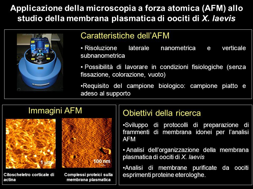 Applicazione della microscopia a forza atomica (AFM) allo studio della membrana plasmatica di oociti di X. laevis Caratteristiche dellAFM Risoluzione