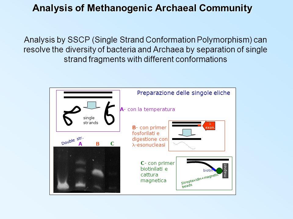 Analysis of Methanogenic Archaeal Community Preparazione delle singole eliche A- con la temperatura B- con primer fosforilati e digestione con-esonucleasi exon.