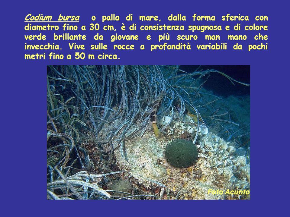 Codium bursa o palla di mare, dalla forma sferica con diametro fino a 30 cm, è di consistenza spugnosa e di colore verde brillante da giovane e più sc