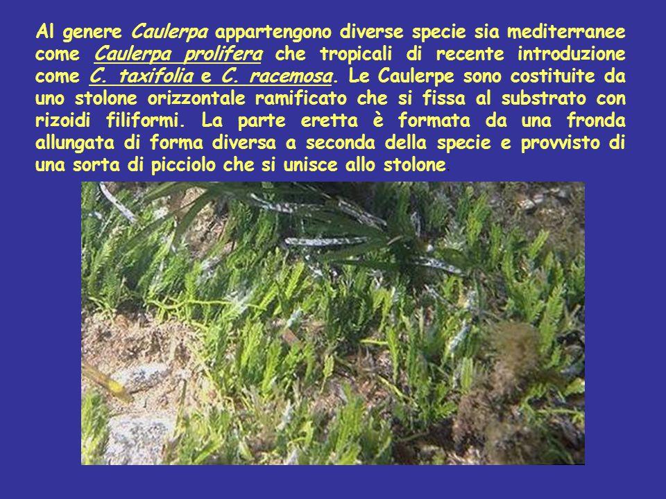 Al genere Caulerpa appartengono diverse specie sia mediterranee come Caulerpa prolifera che tropicali di recente introduzione come C. taxifolia e C. r