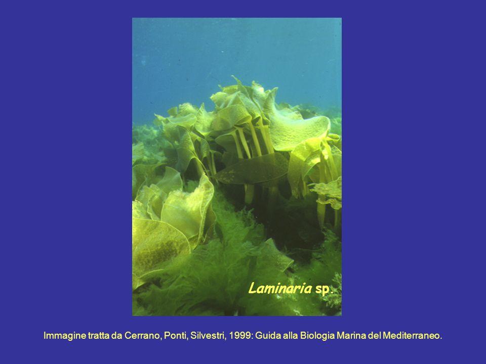 Laminaria sp. Immagine tratta da Cerrano, Ponti, Silvestri, 1999: Guida alla Biologia Marina del Mediterraneo.