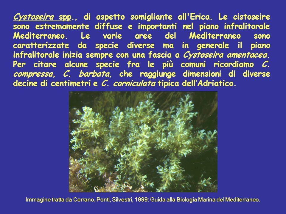 Cystoseira spp., di aspetto somigliante all'Erica. Le cistoseire sono estremamente diffuse e importanti nel piano infralitorale Mediterraneo. Le varie