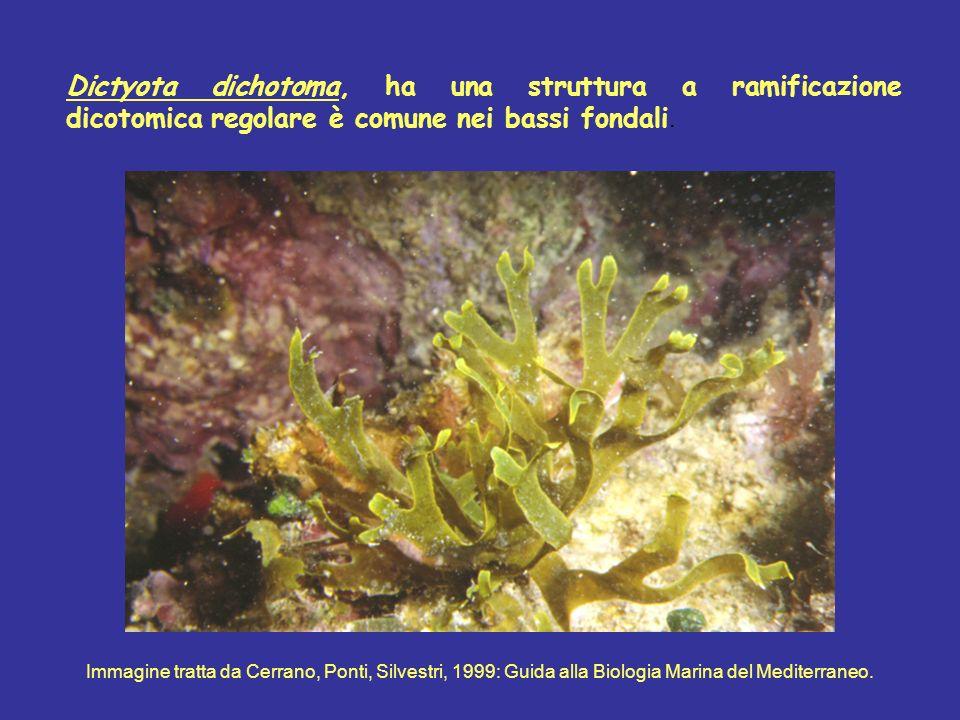 Dictyota dichotoma, ha una struttura a ramificazione dicotomica regolare è comune nei bassi fondali. Immagine tratta da Cerrano, Ponti, Silvestri, 199
