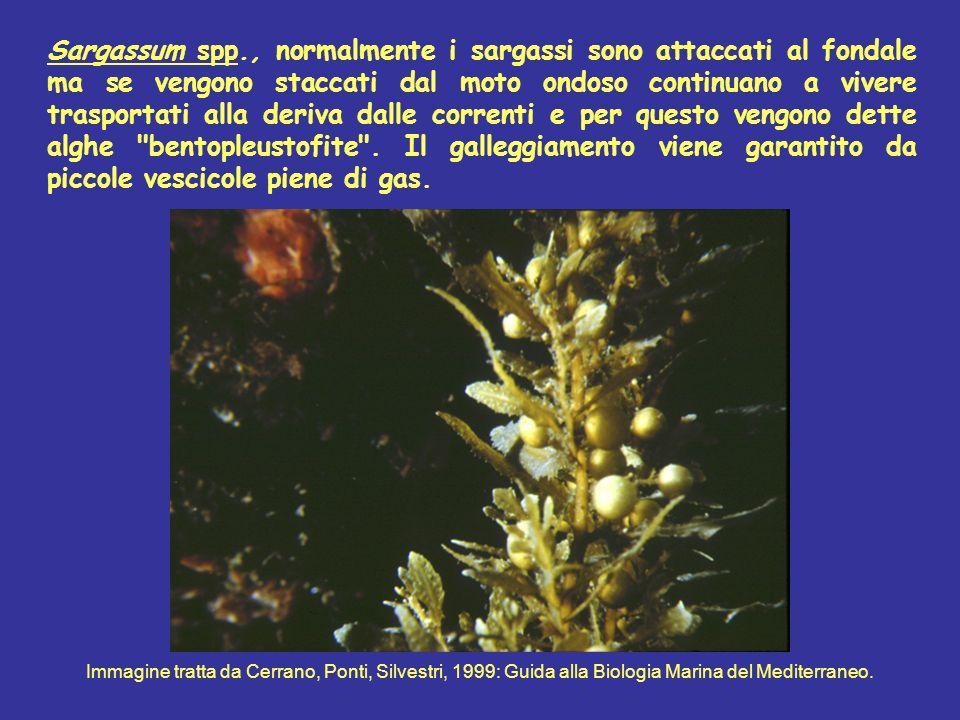 Sargassum spp., normalmente i sargassi sono attaccati al fondale ma se vengono staccati dal moto ondoso continuano a vivere trasportati alla deriva da