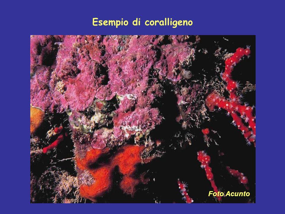 Esempio di coralligeno Foto Acunto