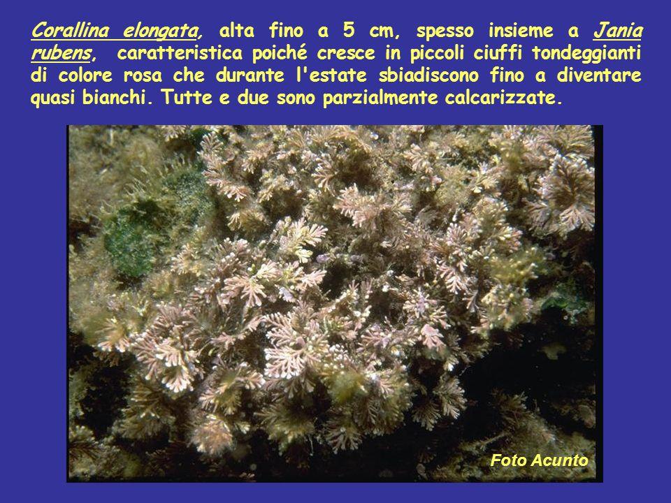 Corallina elongata, alta fino a 5 cm, spesso insieme a Jania rubens, caratteristica poiché cresce in piccoli ciuffi tondeggianti di colore rosa che du