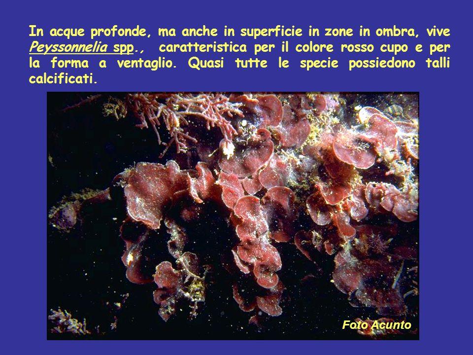 In acque profonde, ma anche in superficie in zone in ombra, vive Peyssonnelia spp., caratteristica per il colore rosso cupo e per la forma a ventaglio
