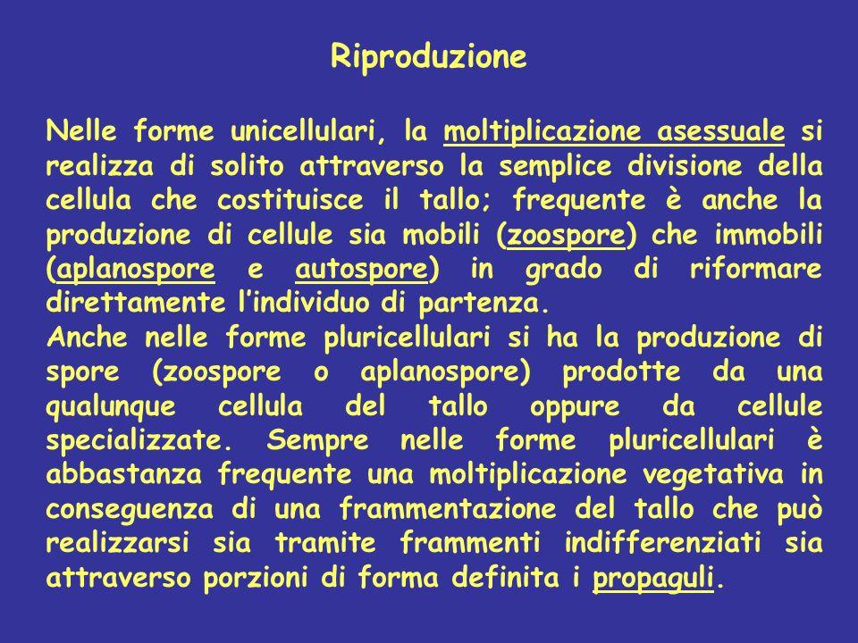 Nelle forme unicellulari, la moltiplicazione asessuale si realizza di solito attraverso la semplice divisione della cellula che costituisce il tallo;