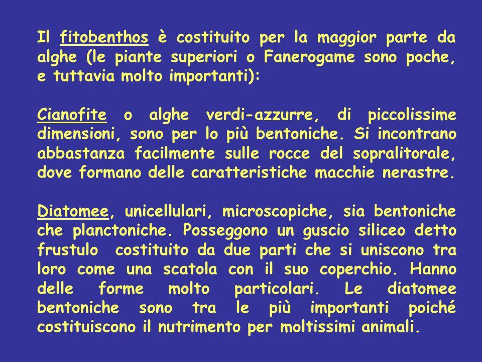 Il fitobenthos è costituito per la maggior parte da alghe (le piante superiori o Fanerogame sono poche, e tuttavia molto importanti): Cianofite o algh