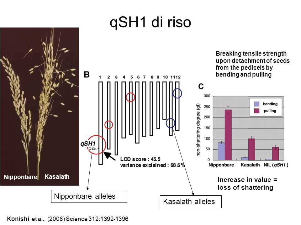 Konishi et al., (2006) Science 312:1392-1396 Nipponbare alleles Kasalath alleles Breaking tensile strength upon detachment of seeds from the pedicels
