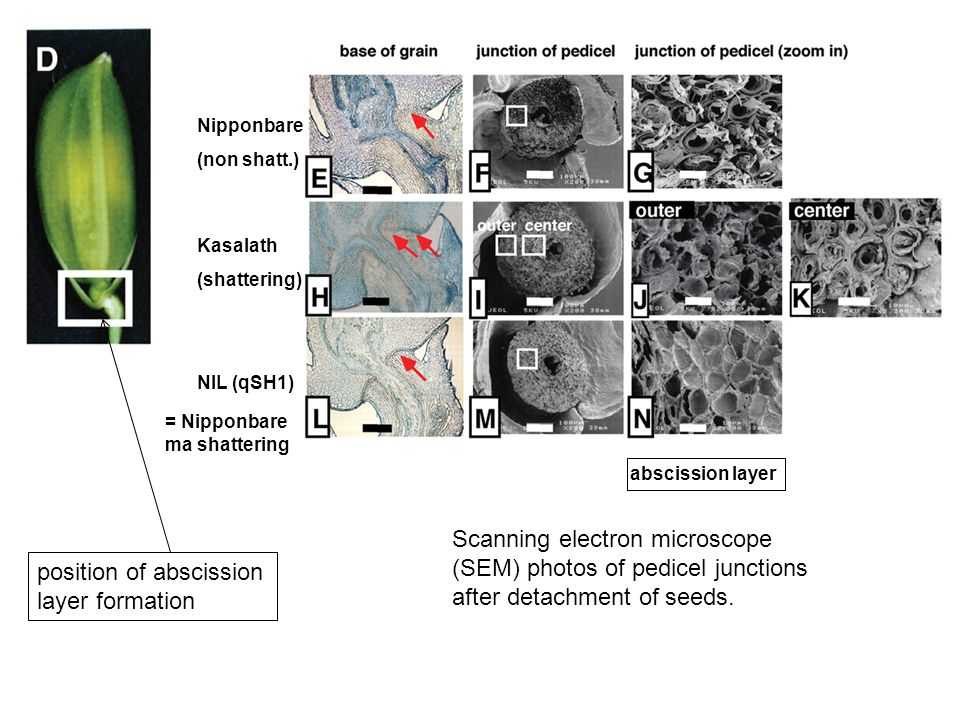 position of abscission layer formation Scanning electron microscope (SEM) photos of pedicel junctions after detachment of seeds. Nipponbare (non shatt