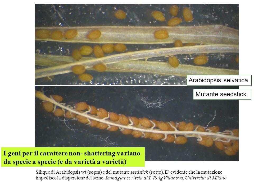 Silique di Arabidopsis wt (sopra) e del mutante seedstick (sotto). E evidente che la mutazione impedisce la dispersione del seme. Immagine cortesia di