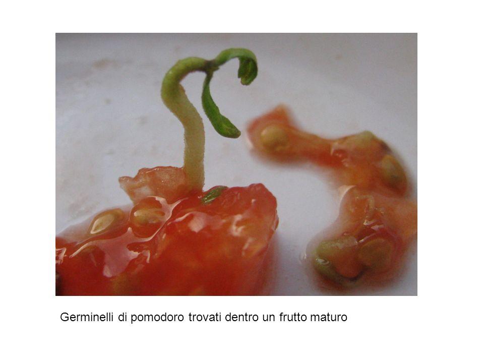 Germinelli di pomodoro trovati dentro un frutto maturo
