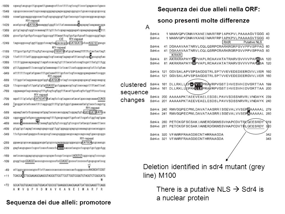 Deletion identified in sdr4 mutant (grey line) M100 Sequenza dei due alleli: promotore clustered sequence changes Sequenza dei due alleli nella ORF: s