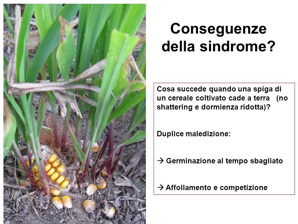 Cosa succede quando una spiga di un cereale coltivato cade a terra (no shattering e dormienza ridotta)? Duplice maledizione: Germinazione al tempo sba