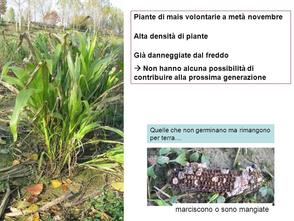Piante di mais volontarie a metà novembre Alta densità di piante Già danneggiate dal freddo Non hanno alcuna possibilità di contribuire alla prossima
