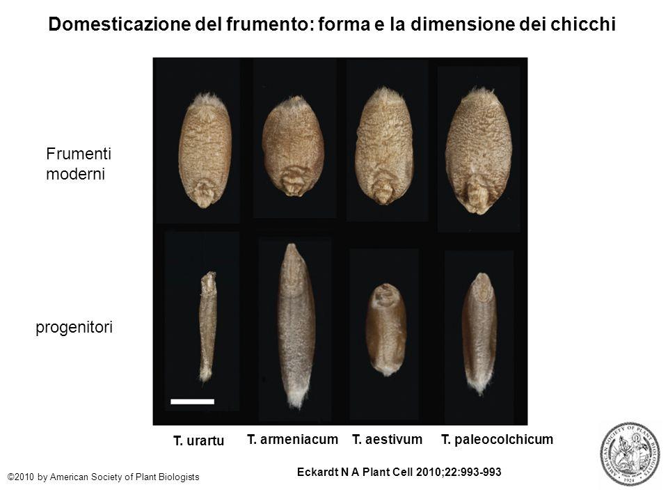 Domesticazione del frumento: forma e la dimensione dei chicchi Eckardt N A Plant Cell 2010;22:993-993 ©2010 by American Society of Plant Biologists T.