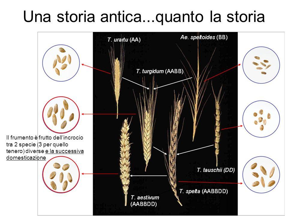 Una storia antica...quanto la storia Il frumento è frutto dellincrocio tra 2 specie (3 per quello tenero) diverse e la successiva domesticazione