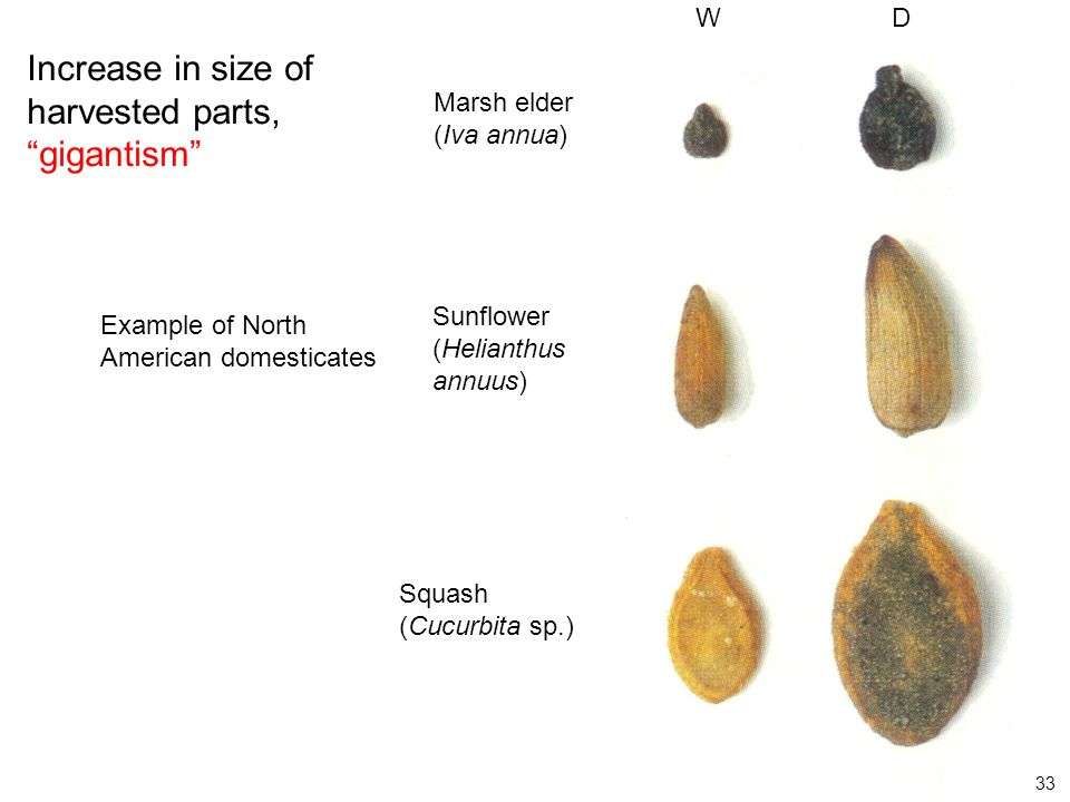 (From Smith 1995) Increase in size of harvested parts, gigantism Example of North American domesticates Marsh elder (Iva annua) Sunflower (Helianthus