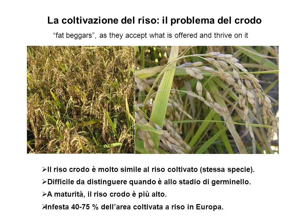 La coltivazione del riso: il problema del crodo Il riso crodo è molto simile al riso coltivato (stessa specie). Difficile da distinguere quando è allo