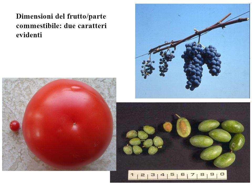 Dimensioni del frutto/parte commestibile: due caratteri evidenti