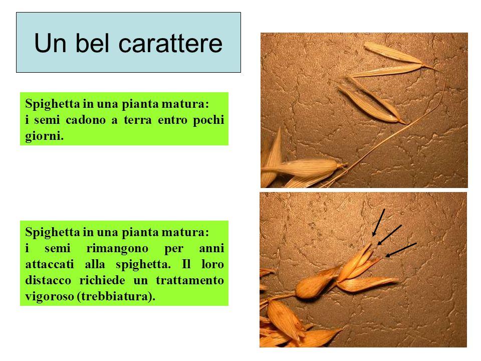 Un bel carattere Spighetta in una pianta matura: i semi cadono a terra entro pochi giorni. Spighetta in una pianta matura: i semi rimangono per anni a