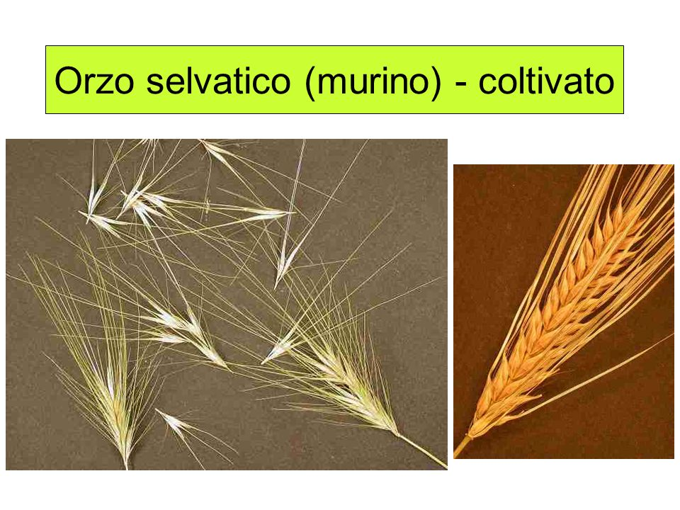 Orzo selvatico (murino) - coltivato