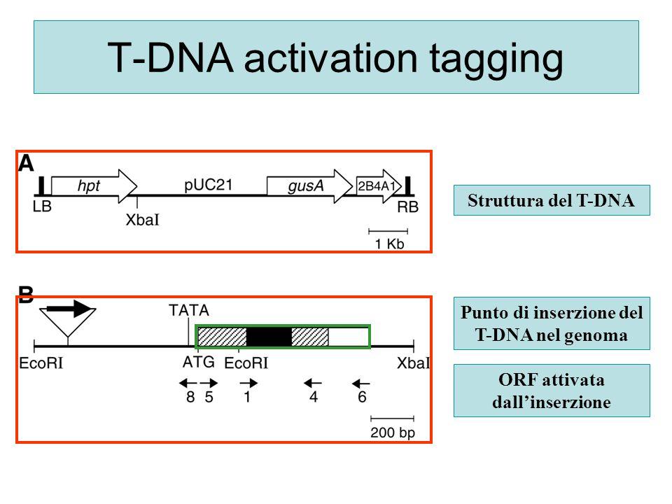 T-DNA activation tagging Struttura del T-DNA Punto di inserzione del T-DNA nel genoma ORF attivata dallinserzione