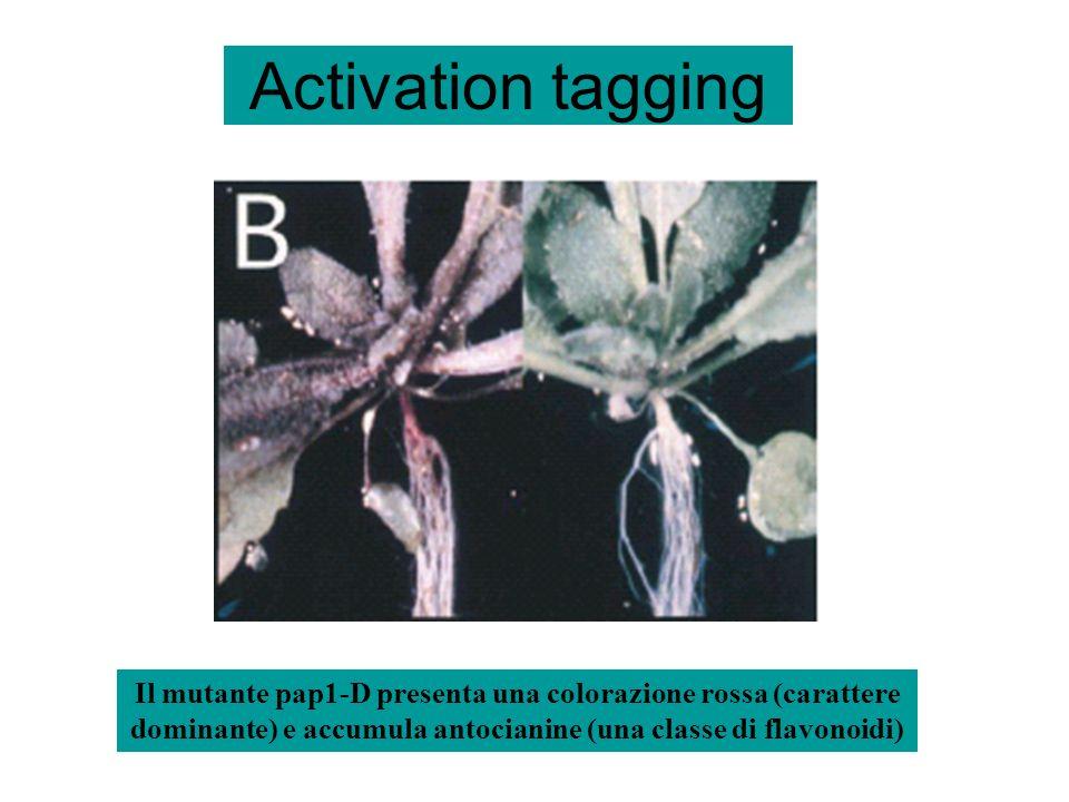 Activation tagging Il mutante pap1-D presenta una colorazione rossa (carattere dominante) e accumula antocianine (una classe di flavonoidi)