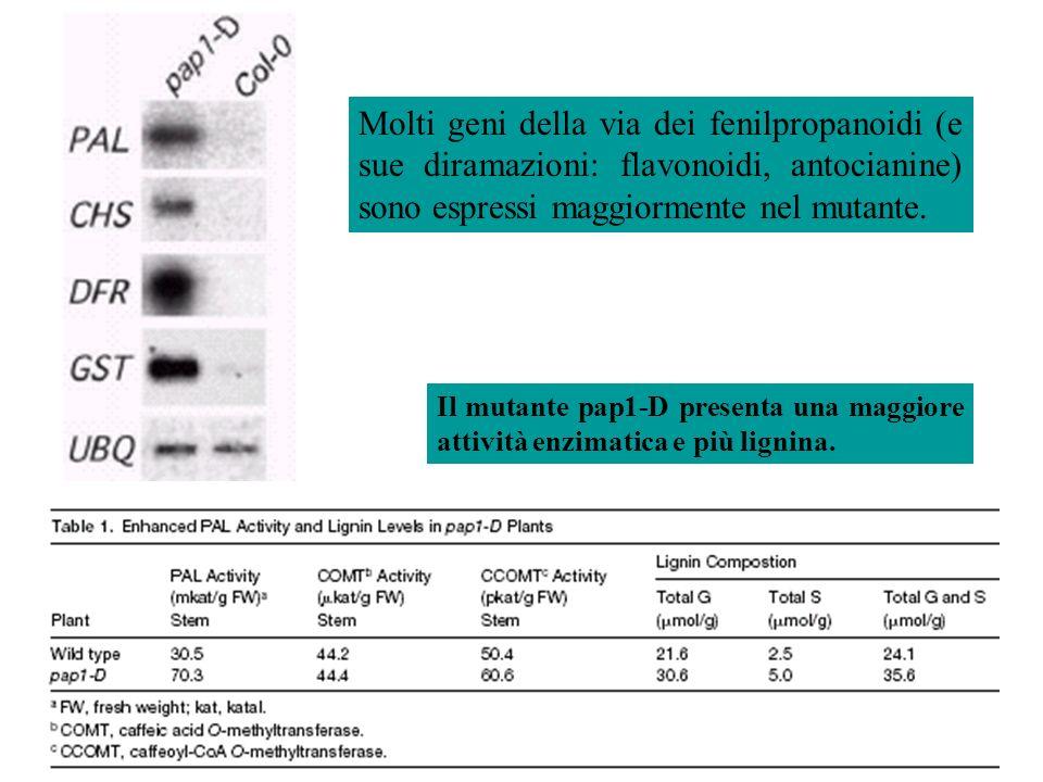 Molti geni della via dei fenilpropanoidi (e sue diramazioni: flavonoidi, antocianine) sono espressi maggiormente nel mutante.