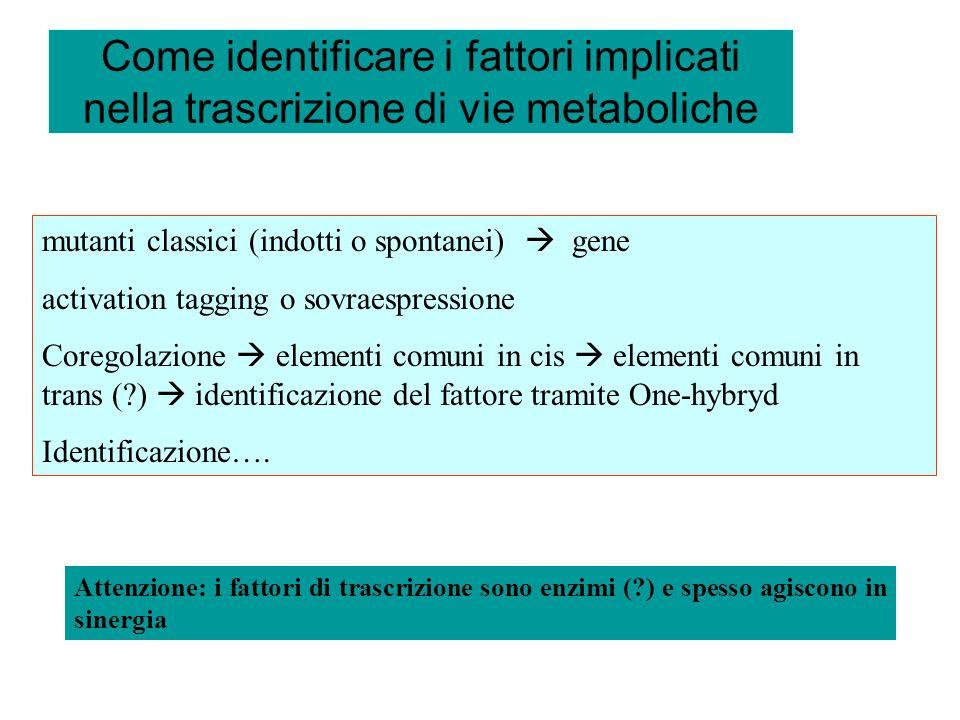 Come identificare i fattori implicati nella trascrizione di vie metaboliche mutanti classici (indotti o spontanei) gene activation tagging o sovraespr