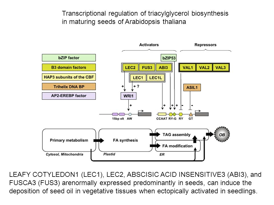 Transcriptional regulation of triacylglycerol biosynthesis in maturing seeds of Arabidopsis thaliana LEAFY COTYLEDON1 (LEC1), LEC2, ABSCISIC ACID INSE