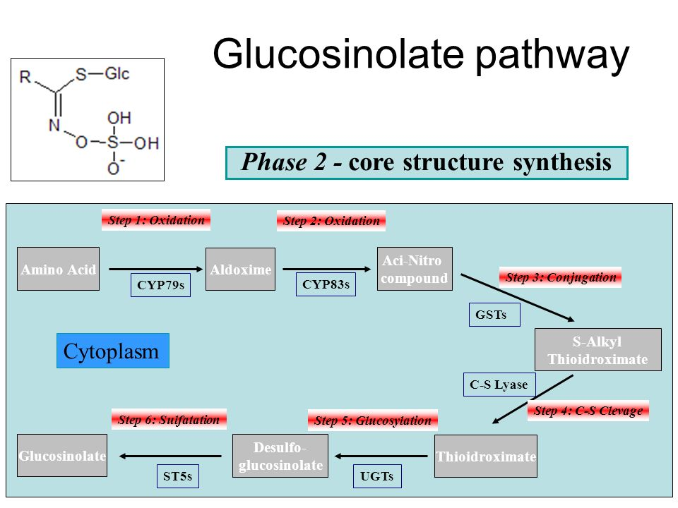 Glucosinolates: sulfur-rich secondary metabolites Amino acid Transamination Oxydative decarboxylation Isomerization Condensation Chloroplast Phase 1 - side chain elongation Oxo-acid 2-alkyl-malic acid 3-alkyl-malic acid Export Oxo-acid Amino acid (n+1)C Several rounds of chain elongation are possible