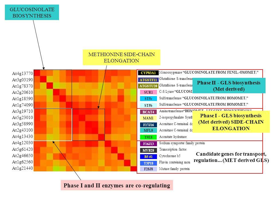 CYP83A1 BCAT4 B5 #1 MAM1 F17J16 ST5b MYB28 F16J13 MFL8 ATGSTF11 ST5c SUR1 T3P18 ATGSTU20 F28J8 T9E8 METHIONINE SIDE-CHAIN ELONGATION Phase I and II en
