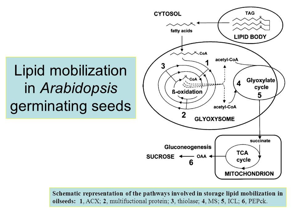 Lipid mobilization in Arabidopsis germinating seeds Schematic representation of the pathways involved in storage lipid mobilization in oilseeds: 1, AC