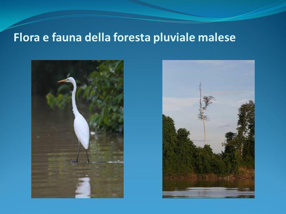 Flora e fauna della foresta pluviale malese