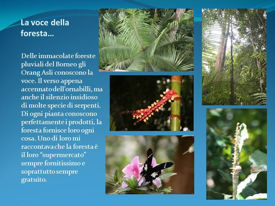 La voce della foresta… Delle immacolate foreste pluviali del Borneo gli Orang Asli conoscono la voce. Il verso appena accennato dellornabilli, ma anch