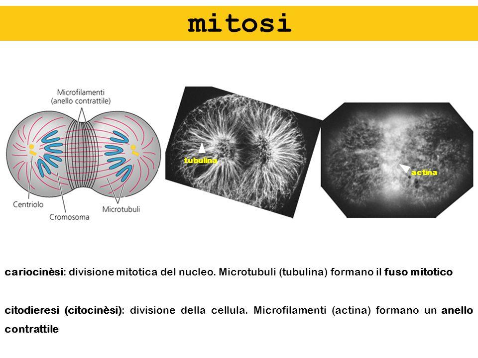cariocinèsi: divisione mitotica del nucleo. Microtubuli (tubulina) formano il fuso mitotico citodieresi (citocinèsi): divisione della cellula. Microfi