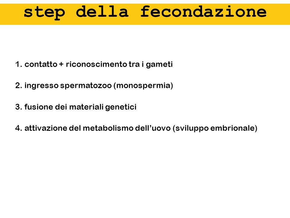 1. contatto + riconoscimento tra i gameti 2. ingresso spermatozoo (monospermia) 3. fusione dei materiali genetici 4. attivazione del metabolismo dellu