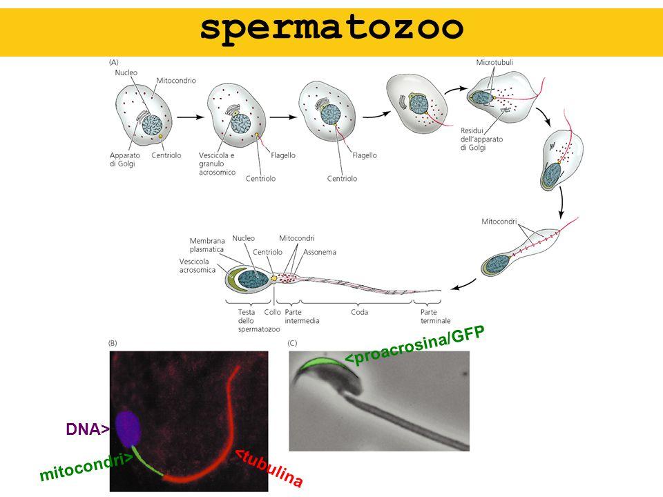 DNA> mitocondri> <tubulina <proacrosina/GFP