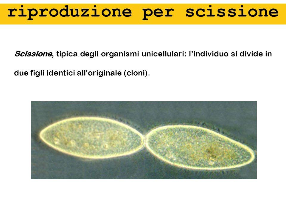 Scissione, tipica degli organismi unicellulari: lindividuo si divide in due figli identici all'originale (cloni). riproduzione per scissione
