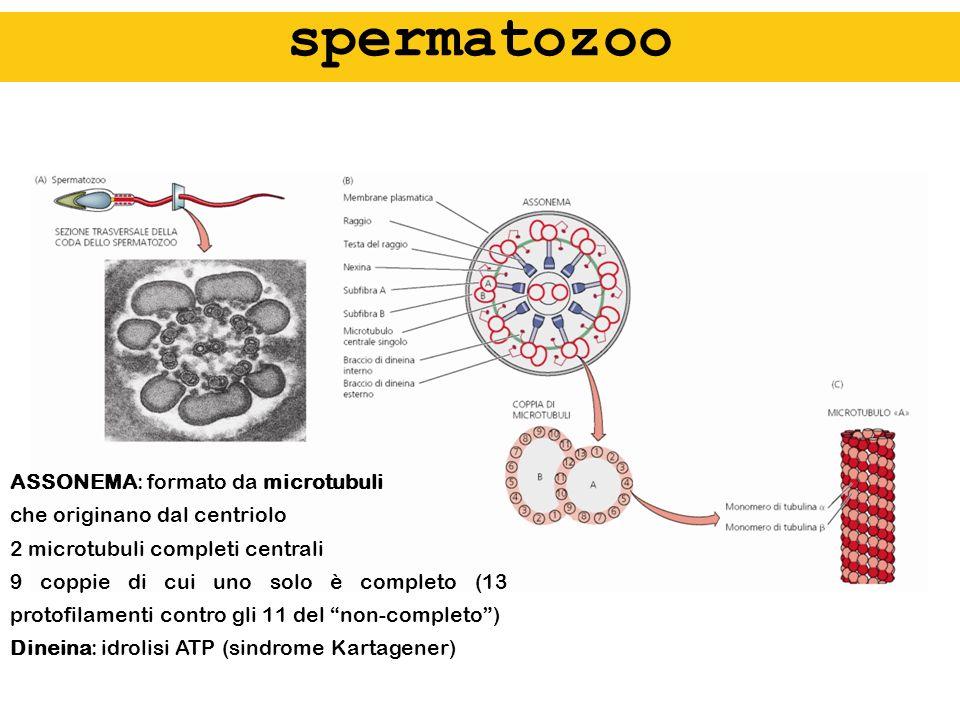 spermatozoo ASSONEMA: formato da microtubuli che originano dal centriolo 2 microtubuli completi centrali 9 coppie di cui uno solo è completo (13 proto