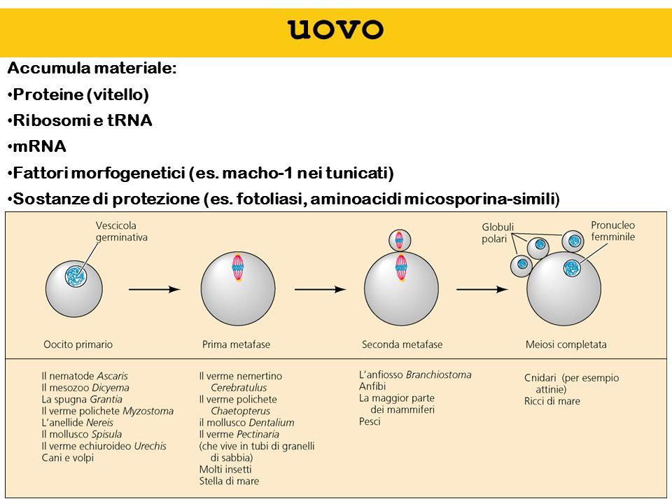 uovo Accumula materiale: Proteine (vitello) Ribosomi e tRNA mRNA Fattori morfogenetici (es. macho-1 nei tunicati) Sostanze di protezione (es. fotolias